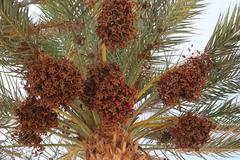 Date palm full of fruits Stock Photos