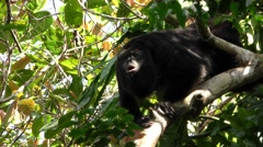 Howler Monkey Male Howling and Roaring in Jungle Stock Footage
