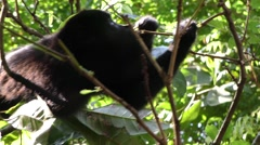 Mantled Howler Monkey in Jungle Feeding on Leaves - stock footage