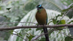 Blue-crowned Motmot Bird in Jungle Stock Footage