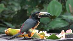 Collared aracari toucan in Central America feeding on fruit Stock Footage