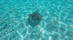 Eagle Ray Swimming in Caribbean Filmed in 4K Stock Footage