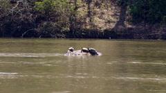 Three box turtles sunbathe on rocks in river Stock Footage