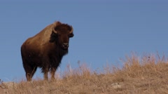 American Plains Bison or Buffalo in Great Plains in 4K Stock Footage