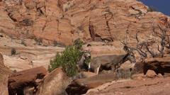 Mule Deer on Red Rocks at Zion National Park in Utah Stock Footage