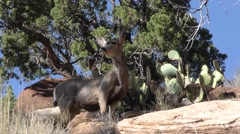 Mule Deer Female Doe at Zion National Park Stock Footage