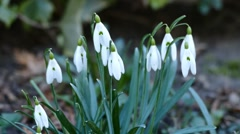 Snowdrops Close Up On Wind 2 - stock footage