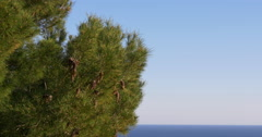 Sunny day fresh green pine tri mediterranean sea view 4k spain Stock Footage