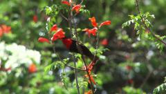 Scarlet chested sunbird drinking nectar Stock Footage