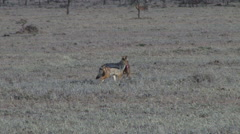 Silver backed jackal carrying a baby gazelle Stock Footage