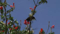 Sunbird drinking nectar Stock Footage
