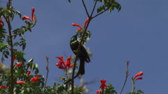 Sunbird looking for nectar Stock Footage