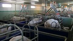 Farm for pig breeding Stock Footage