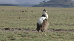 The back of a kori bustard with the tail feathers up Stock Footage