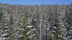 Pine forest in winter from high viewpoint Stock Footage