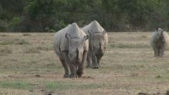 Two black rhinos aproaching the camera Stock Footage