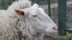 Sheep in a farm Stock Footage
