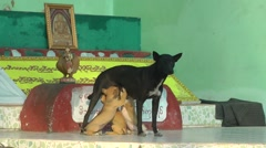 Dog feeding puppies,Bhamo,Burma Stock Footage