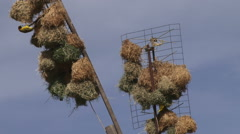 Stock Video Footage of weaver birds colonising TV antenas in a village