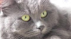 Grey cat's head peering out of the window, animal, 4к Stock Footage