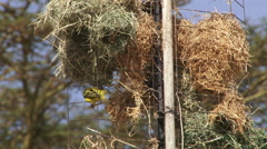Weaver in her new nest Stock Footage