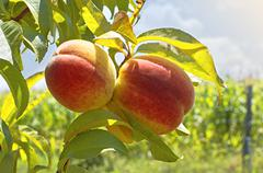 Ripe peaches on tree - stock photo