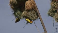 weavers making a new nest - stock footage