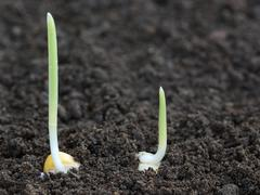 Corn germination on fertile soil - stock photo