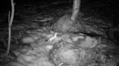 Stoat visiting a wildlife feeding in a forest in winter  - infrared Stock Footage