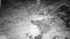 Red fox leaving scent mark on a stone in forest in winter - infrared - stock footage