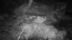 Red fox sniffing around a wildlife feeding site at night - infrared Stock Footage