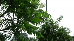 The ornamental garden tree large leaves dripping raindrops Stock Footage