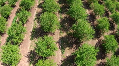 Aerial Looking Straight Down on Orchard Stock Footage