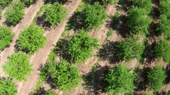 Aerial Looking Straight Down on Orchard 02 Stock Footage