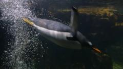 Aquarium of genoa, a penguin diving into the water Stock Footage