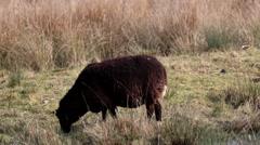 Zwarbles Sheep Stock Footage