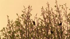 Robins in Blooming Spring Tree at Sunrise Stock Footage