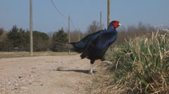 western capercaillie wild bird, Tetrao urogallus - stock footage
