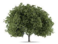 Crack willow tree isolated on white background Stock Illustration
