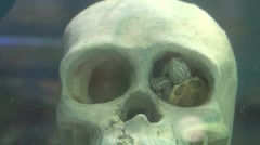 Turtle in the eye socket of the skull Stock Footage