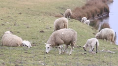Spring, herd of white sheep on dike Stock Footage
