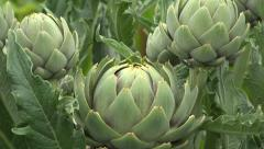 Globe artichoke, zoom in close up Stock Footage