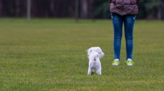 Puppy jumping to owner for a treat Stock Footage