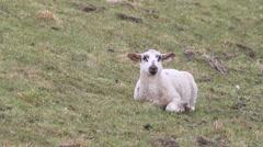 Sheep, sweet lamb alone on dike, white, black, easter Stock Footage