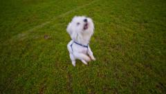 Cute white puppy jumping in camera Stock Footage