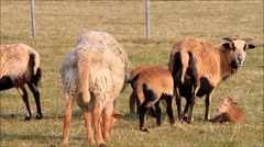 Cameroon sheep, spring, lamb, grazing Stock Footage