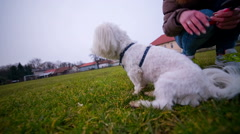 Maltese dog resting on grass Stock Footage