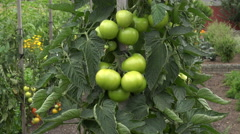 Green tomatoes hanging on plant Stock Footage