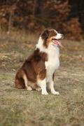 Amazing beautiful australian shepherd - stock photo