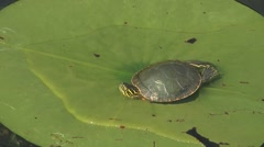 Turtle on Lily Pad CU Stock Footage